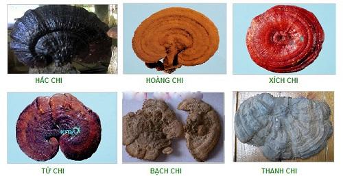 6 loại nấm linh chi