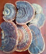 Nấm linh chi rừng - Nấm hồng chi